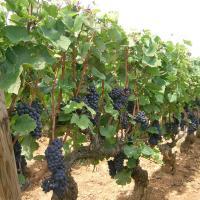 Pinot noir - Rebstöcke mit Trauben